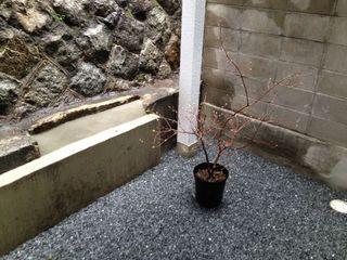 楓を植える前.jpg